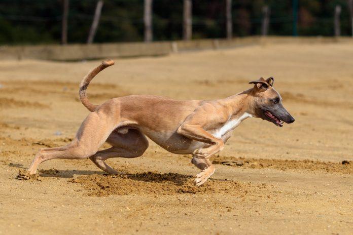 Cum se face dresajul sigur al câinilor de curse din rasa ogar Citește sfaturile noastre