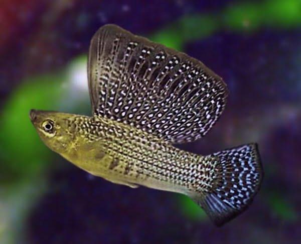 Pești de acvariu - Mollienesia velifera, Foto: worldaquarium.ru