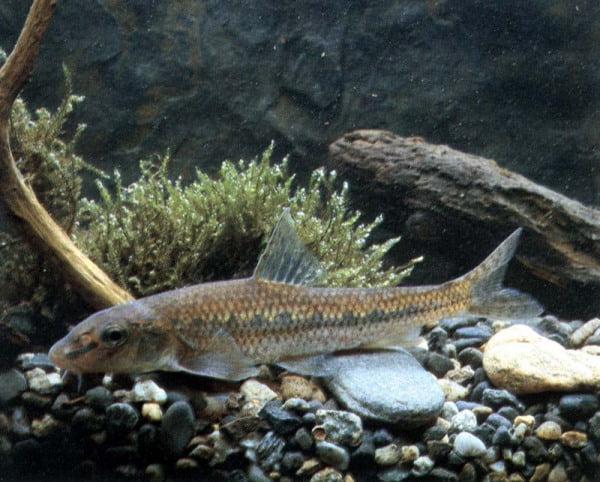 Pești de acvariu - Porcușorul (Gobio gobio), Foto: ittiofauna.org