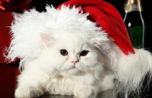 Pisică albă cu căciulă de Moș Crăciun, Foto: christmas-kid.com