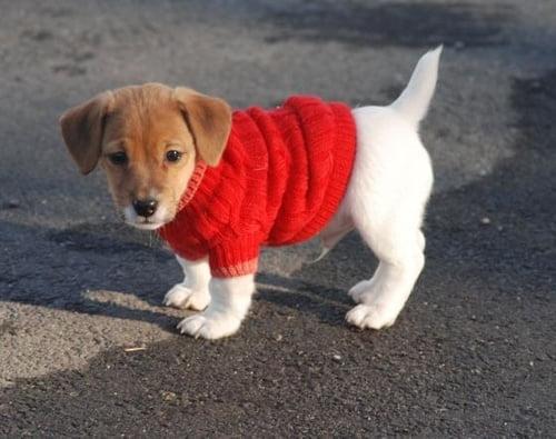 Pulver drăguț roșu pentru câine, Foto: imgur.com