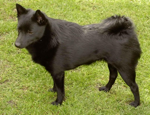 Rase de câini – Schipperke, Foto: free-pet-wallpapers.com