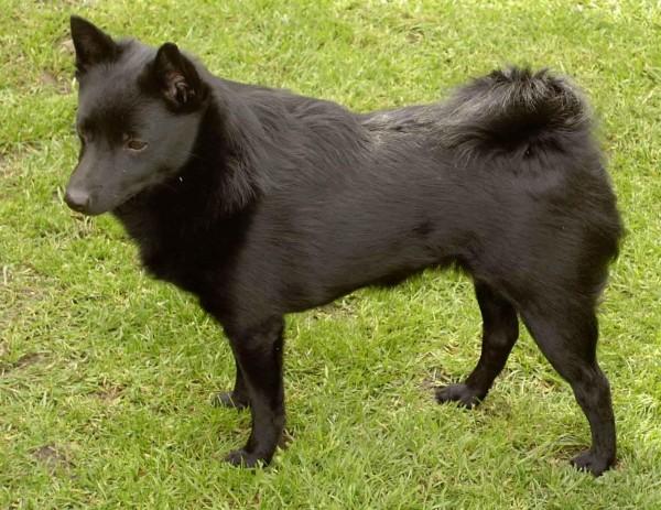Rase de câini – Schipperke, Foto: free-pet-wallpapers.com