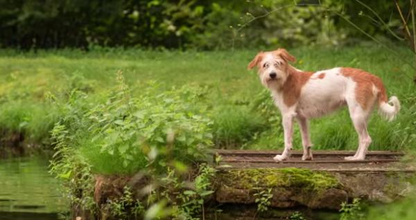 Câinele Kromfohrländer
