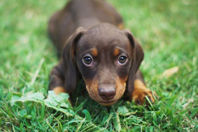 Tulburări ale glandelor anale la câini și pisici - vezi ce fel de tratament necesită acestea