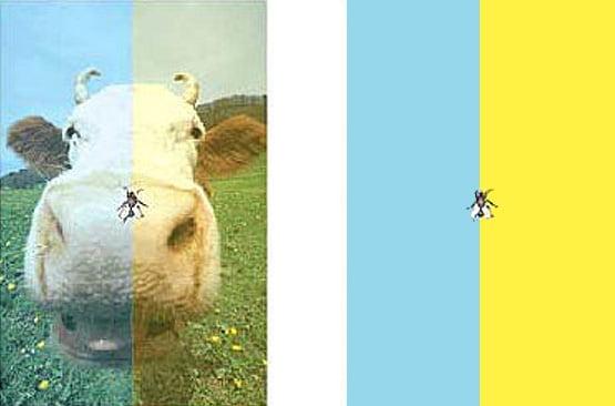 Vaca și musca