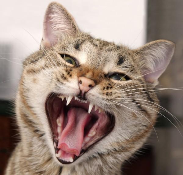 Afecțiuni dentare la pisici, Foto: healthypets.royalcanin.com.au