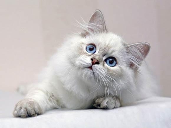 Pisică albă cu ochi albaștri, Foto: becuo.com