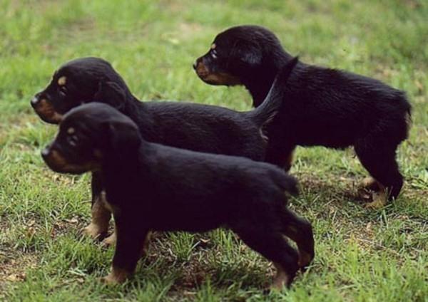 Pui de câine Smalandsstovare, Foto: free-pet-wallpapers.com