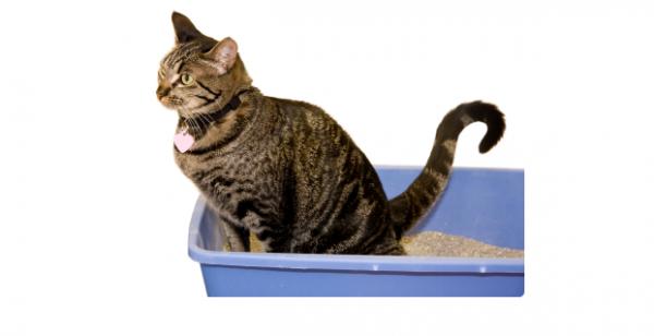 Pisică cu simptome de diaree, cats.lovetoknow.com