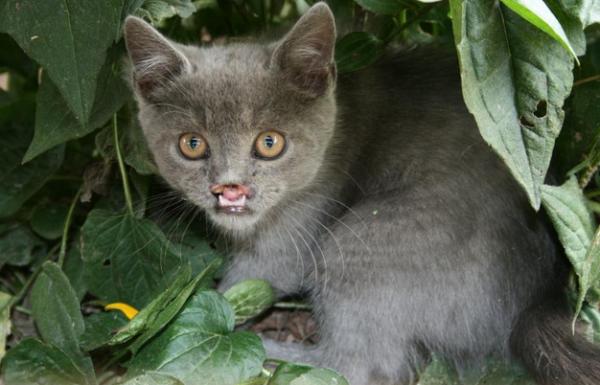 Pisică cu palatoschizis, Foto: lifewithcats.tv