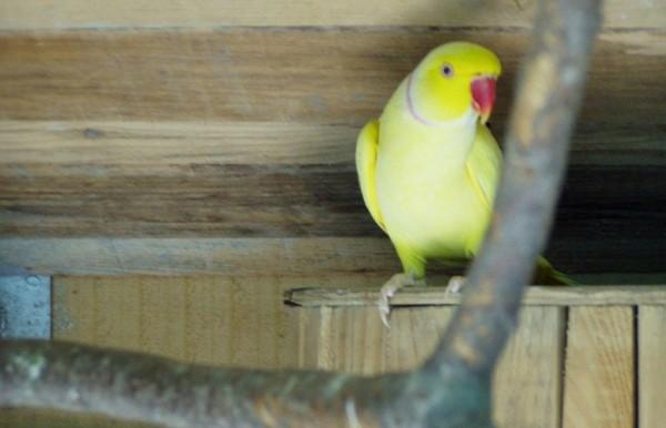 Papagalul Psittacula krameri manillensis