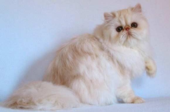 Rasa de pisici Cameo, Foto: catnipsum.com