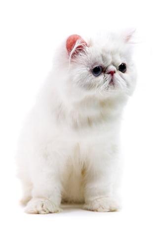 Rasă de pisică persană, Foto: cats.lovetoknow.com
