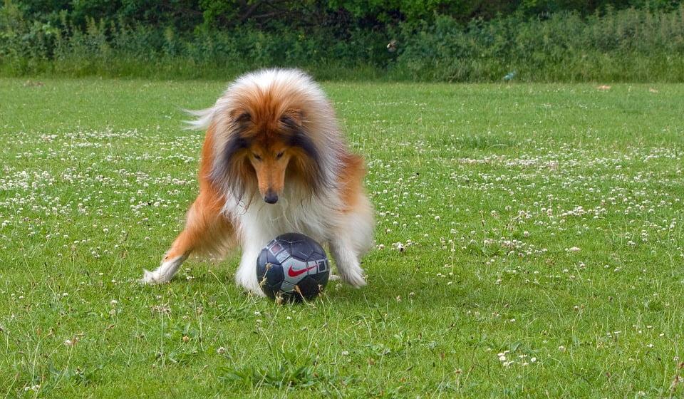 6-collie-fotbal-cu-cainele