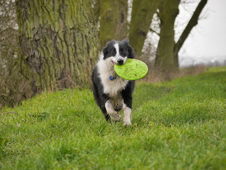 7-border-collie-sport-canin