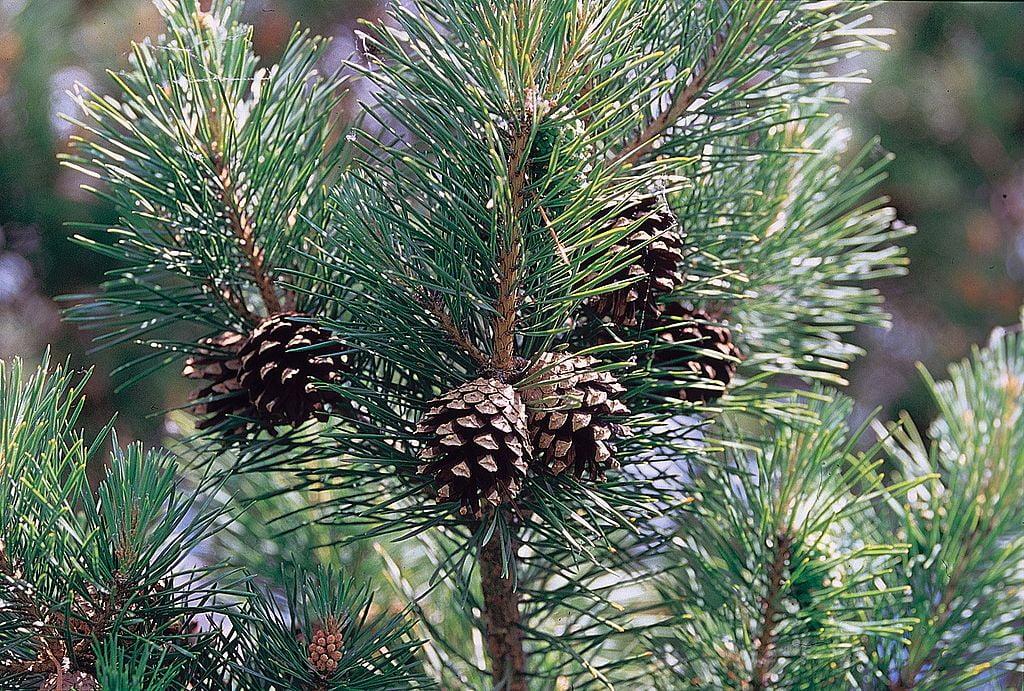 3-Pinus-sylvestris