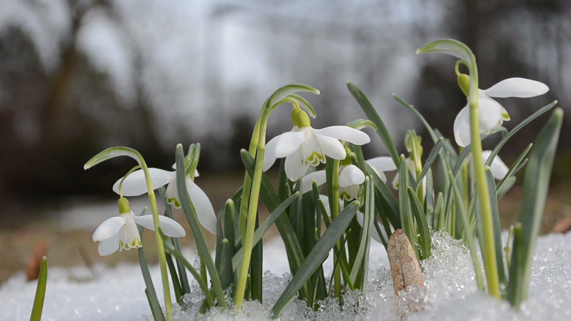 4-dragobetele-flori-de-primavara