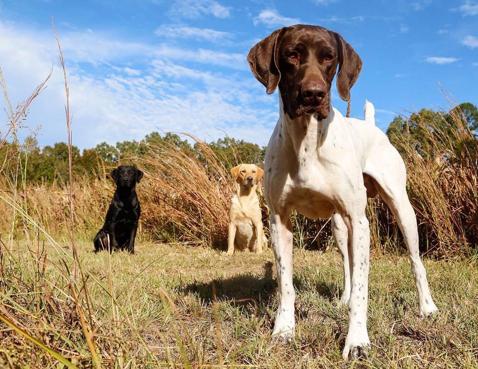 Dresajul specific necesar câinilor de vânătoare