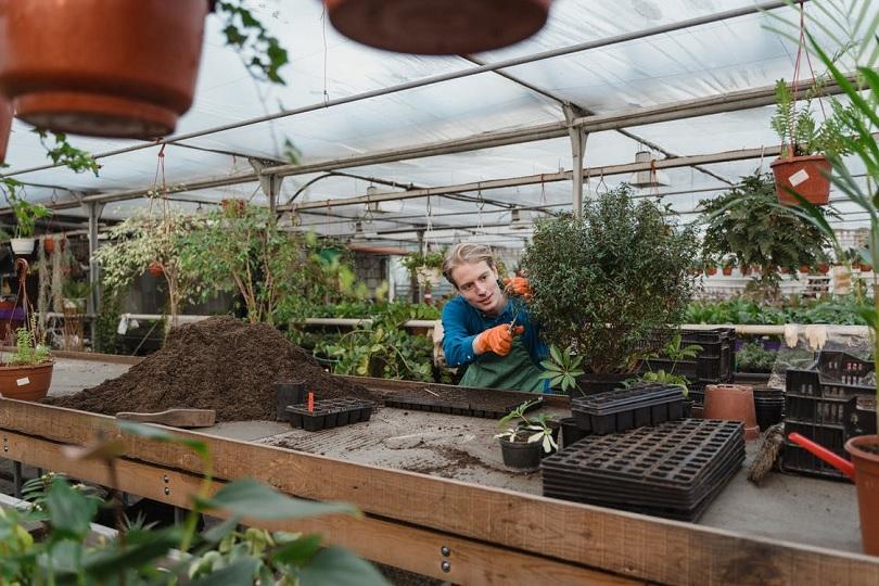 sera, ghivece, tunderea plantelor